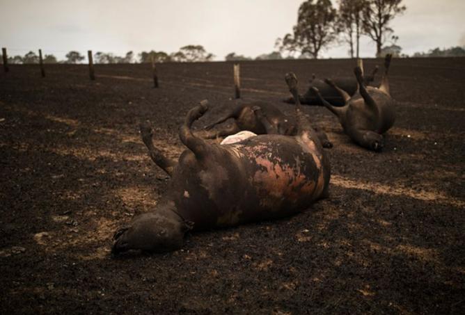 ماشية نافقة بسبب حريق في كولاجليت