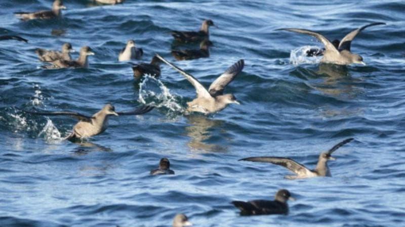 العثور على المئات من الطيور البحرية ميتة في هوبارت في ظروف غامضة