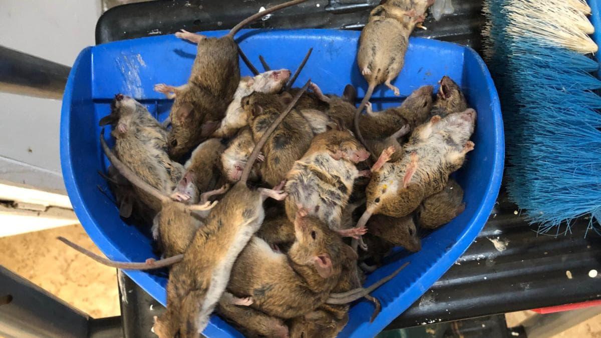 خطوات بسيطة لمنع دخول الفئران إلى منزلك في أستراليا